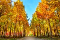 De herfstbomen in Nami-eiland Royalty-vrije Stock Afbeeldingen