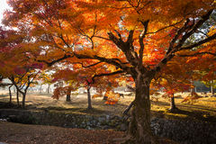 De herfstbomen in Nara Park, Japan Stock Foto