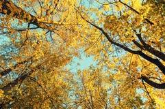 De herfstbomen - de oranje bovenkanten van de herfstbomen tegen blauwe hemel De herfst natuurlijke mening van de herfstbomen Stock Foto