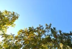 De herfstbomen Takken met groene en gele die bladeren door de zon worden verlicht Tegen de achtergrond van de blauwe hemel Stock Afbeeldingen
