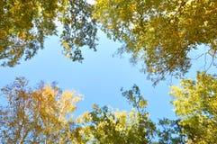 De herfstbomen Takken met groene en gele die bladeren door de zon worden verlicht Tegen de achtergrond van de blauwe hemel Stock Foto's