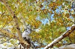 De herfstbomen Takken met groene en gele die bladeren door de zon worden verlicht Tegen de achtergrond van de blauwe hemel Royalty-vrije Stock Foto