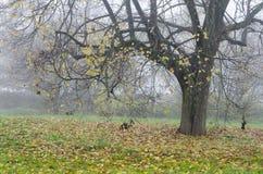 De herfstboom in de mist Royalty-vrije Stock Afbeeldingen