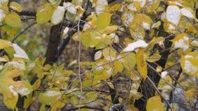 De herfstboom die met eerste sneeuw wordt behandeld stock footage