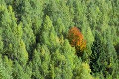 De herfstboom die zich in de groene menigte bevinden Royalty-vrije Stock Foto