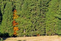 De herfstboom door groene bomen wordt omringd die Stock Afbeelding