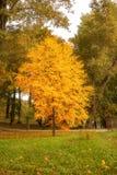 De herfstboom met gele bladeren in het park Stock Fotografie