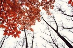 De herfstboom met rode bladeren vector illustratie