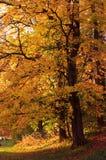 De herfstboom van Onange Royalty-vrije Stock Afbeelding