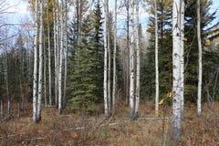 De herfstbos in Alberta Stock Afbeelding
