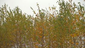 De herfstbos bij donkere dag, bomenslingering in een wind stock videobeelden