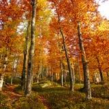 De herfstbos in de ochtend Royalty-vrije Stock Afbeeldingen
