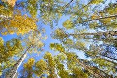 De herfstbos, mening van onderaan De bovenkanten van de bomen Stock Fotografie
