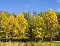 De herfstbos met gele lariksen stock foto