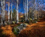 De herfstbos, Vitosha berg, Bulgarije Royalty-vrije Stock Foto