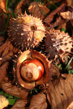 De herfstdaling van de kastanje Stock Foto