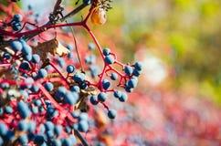 De herfstdruif stock afbeeldingen