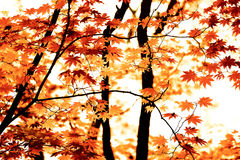 De herfstesdoorn Royalty-vrije Stock Afbeelding
