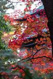 De herfstesdoorn stock fotografie