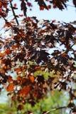 De herfstesdoorn in het park royalty-vrije stock foto