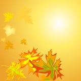 De herfstesdoorn leavse 2 Stock Foto