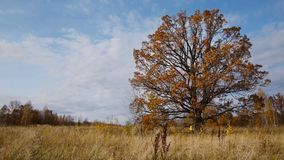 De herfstgang op achtergrond van eenzame oude eiken boom stock footage