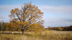De herfstgang op achtergrond van eenzame oude eiken boom stock video