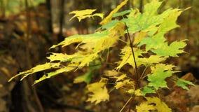 De herfstgebladerte stock videobeelden