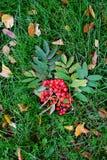 De herfstgebladerte en lijsterbessenachtergrond Stock Afbeeldingen