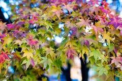 De herfstgebladerte, kleuren van de aard in daling Stock Foto's