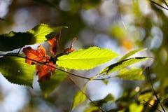 De herfstgebladerte met groene en dode bladeren Stock Foto's