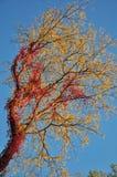 De herfstgebladerte: rode klimop op gele boombladeren Stock Foto
