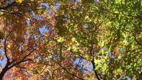 De herfstgebladerte tegen een blauwe hemel stock videobeelden