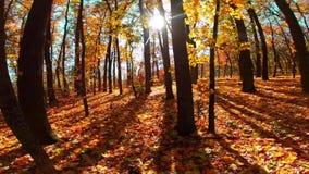 De herfsthout met zonstralen stock videobeelden