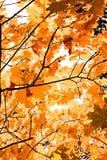 De herfstinstallatie esdoorntak in het bos stock afbeelding