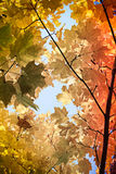 De herfstinstallatie gele esdoorntak in het bos royalty-vrije stock foto