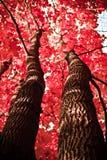 De herfstinstallatie rode esdoorntak in het bos royalty-vrije stock fotografie