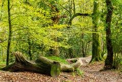 De herfstkleur in het hout door de Rivier Fowey Royalty-vrije Stock Fotografie