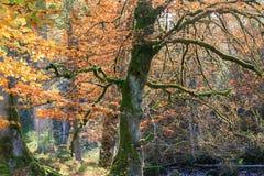 De herfstkleuren in de Alpen Stock Afbeelding