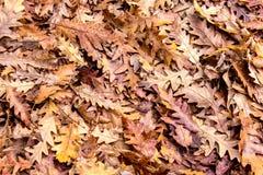 De herfstkleuren, Eiken droge bladerenachtergrond Royalty-vrije Stock Afbeeldingen