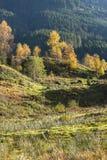 De herfstkleuren en berken Stock Foto