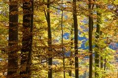 De herfstkleuren en berken Stock Fotografie