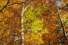 De herfstkleuren en berken Stock Afbeelding