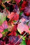 De herfstkleuren op de boom van de gebiedsesdoorn in trossachs bosschotland Royalty-vrije Stock Afbeeldingen