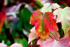De herfstkleuren op de boom van de gebiedsesdoorn in trossachs bosschotland Stock Afbeelding