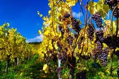 De herfstkleuren van alsacien wijngaarden, Frankrijk Stock Fotografie