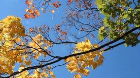 De herfstlandschap - een mooie boom in een zonnig bos stock footage