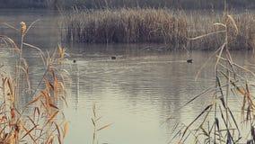 De herfstlandschap, gele bomen dichtbij een kalme rivier stock video