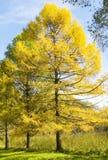 De herfstlandschap met lariksen stock foto's