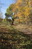 De herfstlandschap met wegen en een grote boom met gele bladeren Stock Foto's